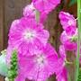 Sidalcea malviflora 'Elsie Heugh' (Sidalcea malviflora (Checkerbloom))