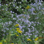 New England Asters and Goldenrod