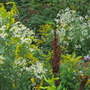 Natures mix...asters, goldenrod, sorel, joe pye