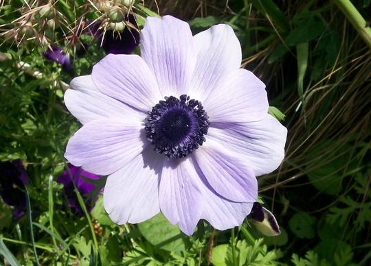 11_7_11.jpg (Anemone coronaria (Poppy anemone))