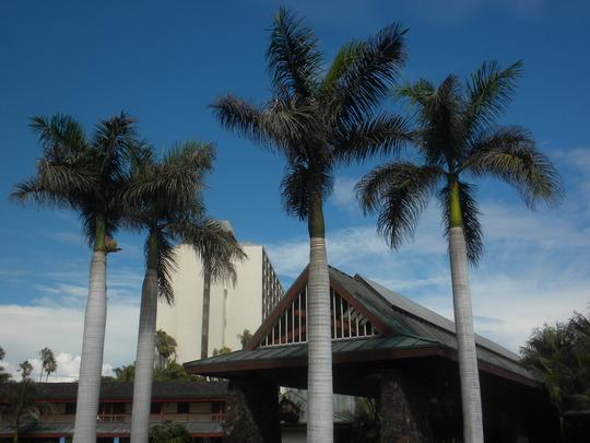 Roystonea regia - Cuban Royal Palms (Roystonea regia - Cuban Royal Palm)