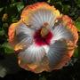 Hibiscus rosa-sinensis - Tropical Hibiscus Flower (Hibiscus rosa-sinensis - Tropical Hibiscus)