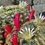 Mammillaria schiedeana plumosa
