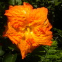 Hibiscus rosa-sinensis - Tropical Hibiscus Orange Flower (Hibiscus rosa-sinensis - Tropical Hibiscus)