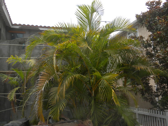 Dysis lutescens - Butterfly Palm (Dysis lutescens - Butterfly Palm)