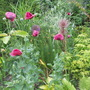 poppies, I love them, not a brilliant pic though