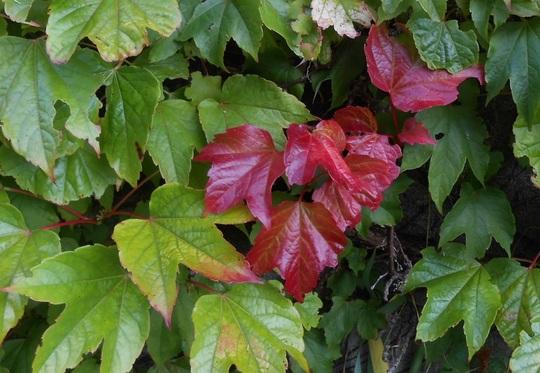 Parthenocissus tricuspidata Veitchii (Parthenocissus tricuspidata Veitchii)