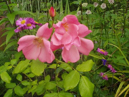 rosa Mary B