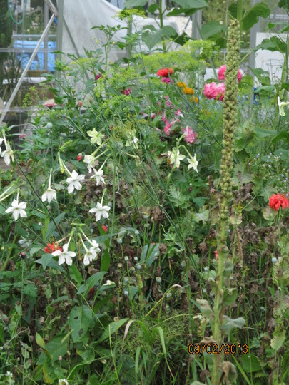 Only the Lonely  ~  Nicotiana sylvestris