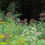 The forest verges ..eupatorium, solidago and panicled asters