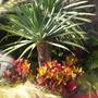 Dragon Trees (Dracaena draco); Croton (Codiaeum variegatum) (Dragon Trees (Dracaena draco); Croton (Codiaeum variegatum))