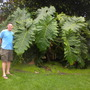 Philodendron 'Evansii' and Me (Philodendron 'Evansii')