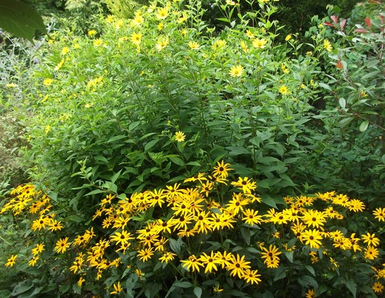 Helianthus Lemon Queen and Rudbeckia Fulg 'Goldstrum' work well together for late summer colour. (Rudbekia Fulg. Goldstrum)