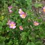 Anemone Pretty Lady Susan just flowering (Anemone)
