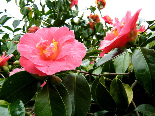 Camellia at Lanhydrock House