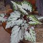 Begonia_rex_silver_green