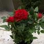 Rose_red_130901