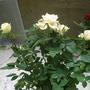 Rose_yel_130901
