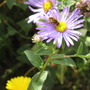 Aster x frikartii Monch with hoverfly