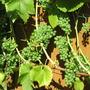 Solaris white wine grape.