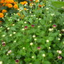 Chrysanthemum in bud