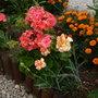 Pelargonium,Carnation and Marigolds