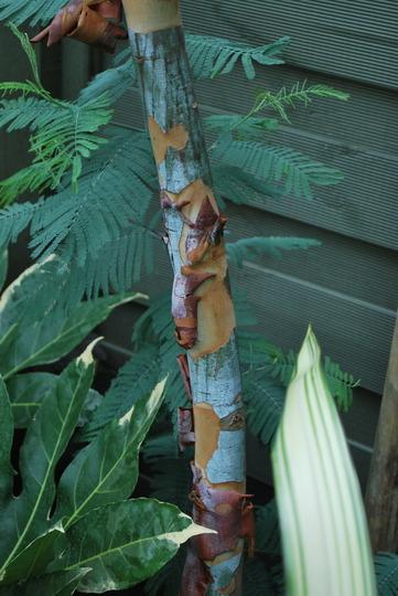 Peeling bark of our Eucalyptus Glaucescens... (Eucalyptus glaucescens.)