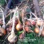 Plot_12a_onion_sturon_harvesting_01_08_2013_001