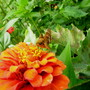 Orange zinnia and friend.