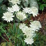 Astrantia major 'Alba' (Astrantia major 'Alba')