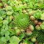 Hens and Chicks in the creeping Jenny!