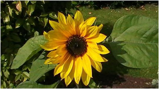Our First Sunflower