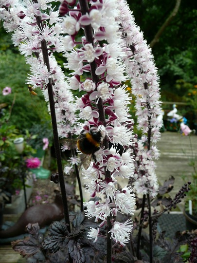 004   Actaea  Simplex Pink Spike