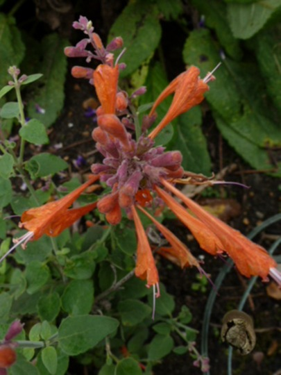 Agastache    aurantiaca Apricot Sprite
