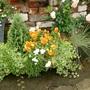 Winter pansies still busy in Summer!
