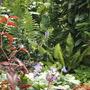 Primula vialii - flowering again! (Primula vialii)