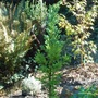 Cryptomeria japonica 'Black Dragon' / Japanese cedar (Cryptomeria japonica 'Black Dragon')