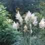 Pampas grass and Black walnut tree (Juglans nigra and Cortaderia selloana)