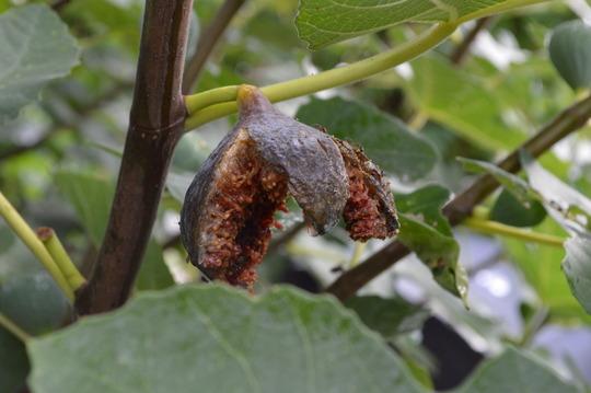 Fig flower fades...