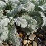 Tanacetum_densun_subsp_amani_foliage