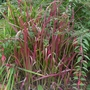 Imperata_cylindrica_red_baron_2013