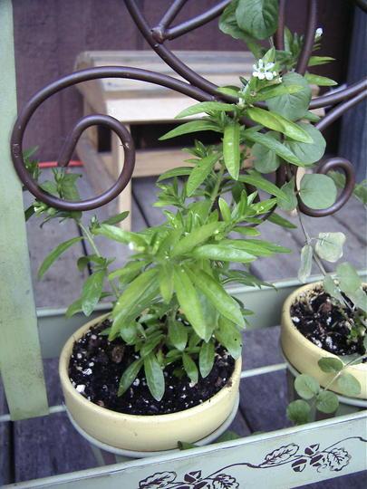 Mexican Heather (Cuphea hyssopifolia 'Brazilian White')