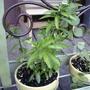 Cuphea hyssopifolia 'Brazilian White'