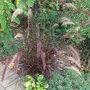 Pennisetum setaceum 'Rubrum' (Pennisetum setaceum 'Rubrum')