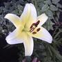 Conca D'or lily (lillium conca d'or)