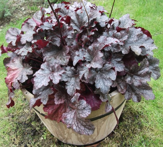 Heuchera 'Plum Pudding' couldnt resist this one today and then need a container for it, got a nice wooden one for half price. (Heuchera)
