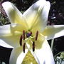 Let's try this bloom.... (lillium conca d'or)