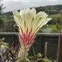 Astrophytum capricorne senile