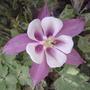 Aquilegia hybrida 'Origami Rose & White'