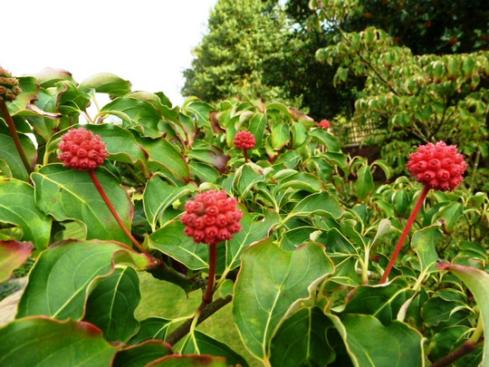 Cornus Kousa       Autumn Berries